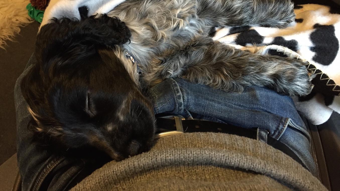 Puppy sleeping on my lap